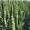 Семена озимой пшеницы Алексеич,  Краса Дона,  Капризуля,  Станичная,  Этюд,  Гурт,  Тр #1688281