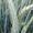 Семена озимой тритикале сорт Хлебороб и Тихон #1688282