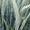 Семена тритикале Тихон,  Хлебороб ЭС #1683418