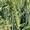 Семена озимой пшеницы ЭС #1711527