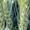 Семена пшеницы озимой  Аксинья,   Аскет,   Вольница,   Вольный Дон,   Донская Степь,  #1712099