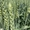 Семена пшеницы озимой  Алексеич,  Ахмат,  Безостая 100,  Герда,  Граф,  Гром,  Гомер,   #1712101