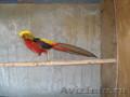 декоративные фазаны