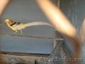 декоративные фазаны - Изображение #2, Объявление #334133