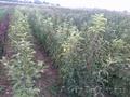 саженцы однолетних плодовых деревьев
