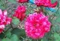 саженцы плодовые, розы - Изображение #3, Объявление #737724