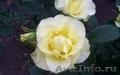 саженцы плодовые, розы - Изображение #4, Объявление #737724