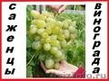 Саженцы винограда 2-х летки 117 сортов-новинок от производителя.