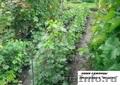 Саженцы винограда 2-х летки 117 сортов-новинок от производителя. - Изображение #3, Объявление #256491