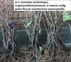Саженцы винограда 2-х летки 117 сортов-новинок от производителя. - Изображение #2, Объявление #256491