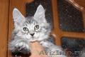 Котята и Кошки Мейн Кун