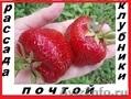 Саженцы клубники(не усы)новейшего крупноплодного  сорта Чамора Куруси-почтой...