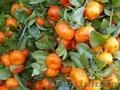 Мандарины оптом , мандарины оптом из Абхазии, любой из этих, Объявление #1185027