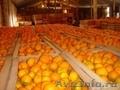Мандарины оптом , мандарины оптом из Абхазии, любой из этих - Изображение #2, Объявление #1185027