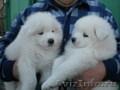 Белоснежные щенки самоедской лайки