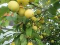 Продаем саженцы плодовых деревьев