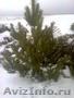 Продам новогодние сосны