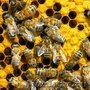 Пчелопакеты Продажа