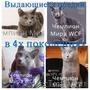 Iris Sheer Love - русский голубой котенок от Чемпиона Мира WCF в Краснодаре - Изображение #3, Объявление #1458752